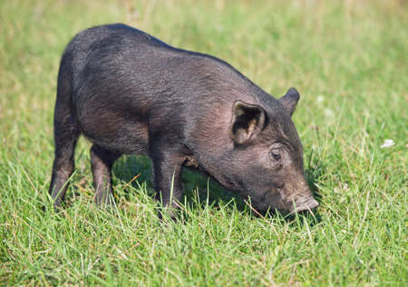 pigling: The black pigling is in a natural environment