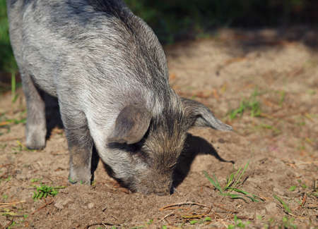 The striped pigling digs in earth