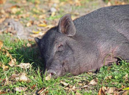 mini farm: Vietnamese mini pig sleeps on an autumn lawn