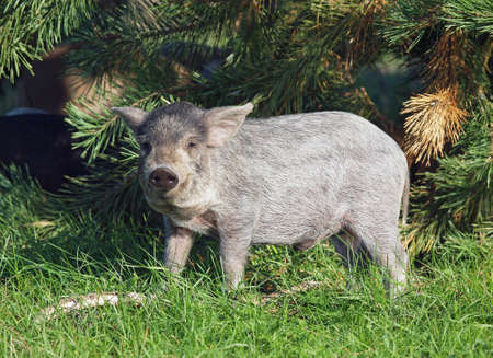 pigling: The young pigling of Hungarian breed Mangalitsa is in a natural environment Stock Photo