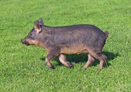pigling: A striped pigling hurries on a green grass