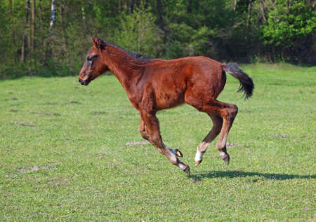 filly: A bay filly galloping on the green field