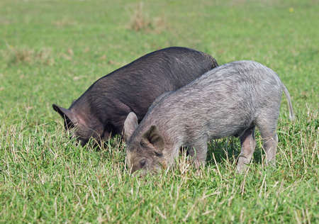 pigling: Two little pigs are grazed on a green lawn Stock Photo