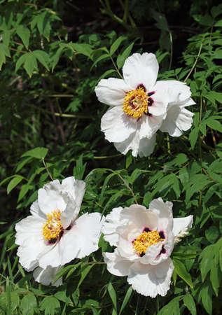 Blancas flores de peonía árbol