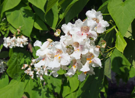 catalpa: Flowers and leaves of the Catalpa Tree