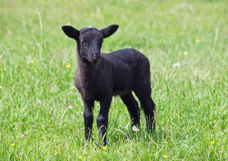 Black suffolk