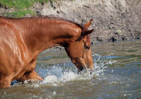 caballo bebe: El caballo de bah�a toma un ba�o natural