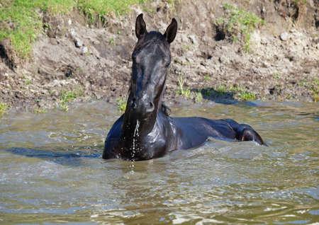 caballo bebe: El caballo negro toma un ba�o natural