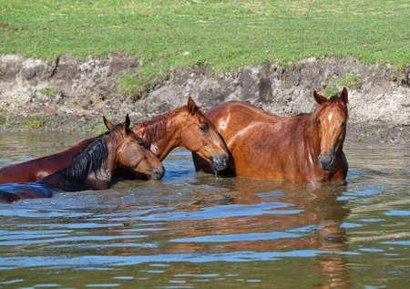 caballo bebe: Caballos en el lago Foto de archivo