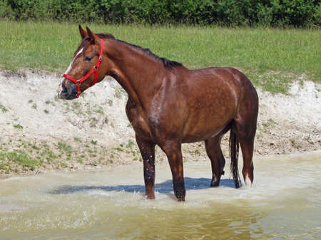 refreshed: Chestnut horse refreshed in a pond