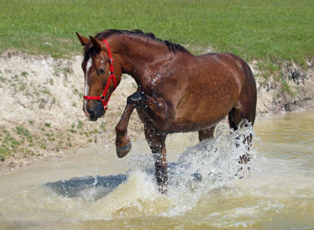 caballo bebe: Satisfied chestnut horse lifts splashes in a pond Foto de archivo