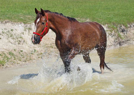 caballo bebe: Satisfied chestnut horse lifts splashes in a pond Foto de archivo