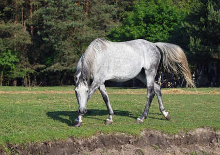 gracefully: The beautiful gray horse gracefully walks on a meadow