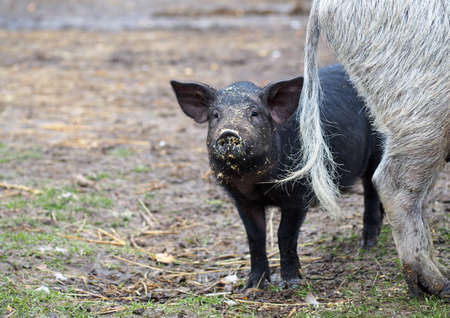 sow: Piglet and Mangalitsa sow