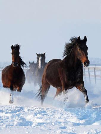 Horses galloping along on deep snow Stock Photo