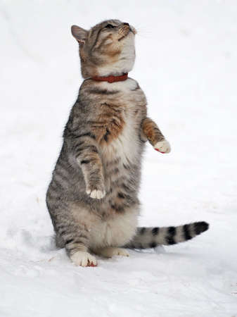 elicit: The young tabby cat standing on hinder legs in snow