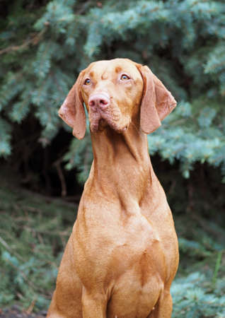hungarian pointer: Hungarian Vizsla (Hungarian Pointer) against the background of blue fir-trees