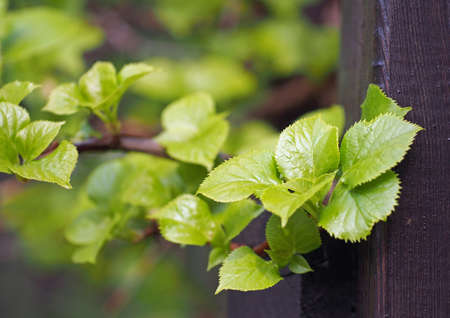 Young bright green leaves of a decorative liana Stock Photo