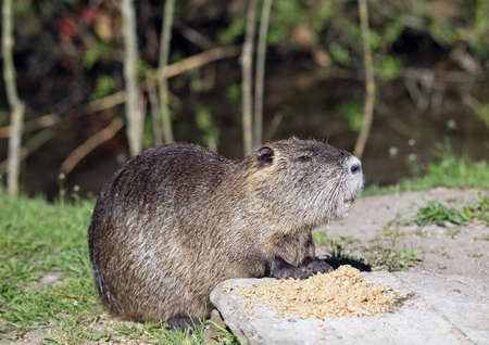 A coypu, Nutria feeding on corn on lawn Stock Photo