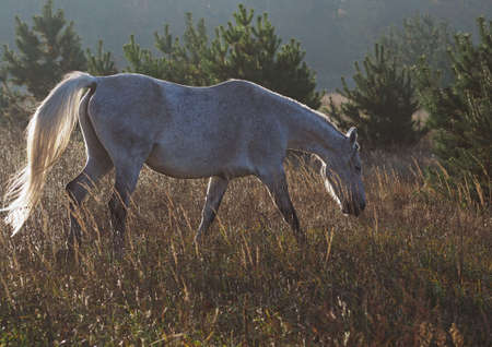The gray mare of warmblood breed is grazed on an autumn pasture