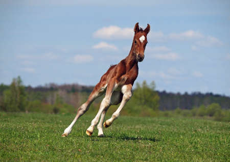 The galloping bay foal on a green meadow