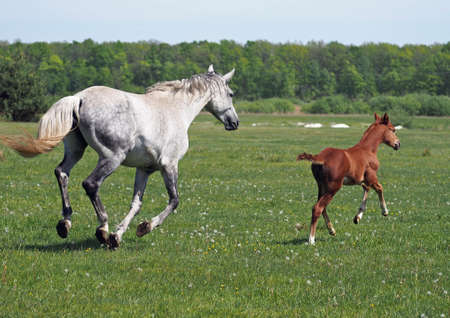 Mare with a foal gallop away on a green meadow