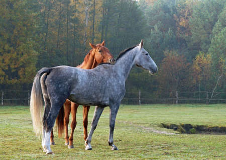 Two horses on a meadow against the background of the autumn nature Stock Photo
