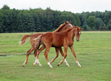 Two foals friendly communicate running on a pasture