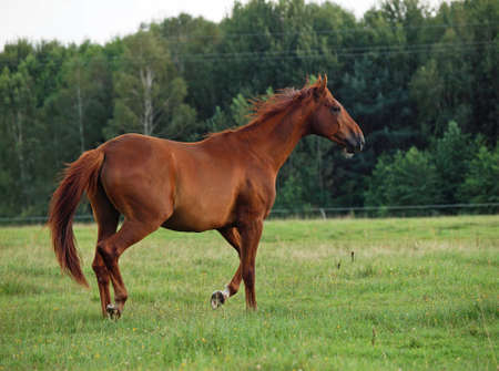 The red horse walking on a green meadow