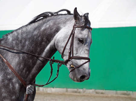 The head of a gray sports horse against the background of the arena Stock Photo