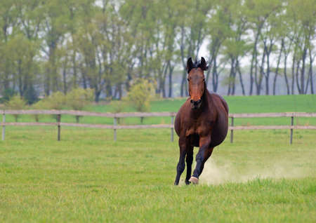 A warmblood bay horse hurries on a spring meadow Reklamní fotografie