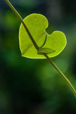 viability:  Heart shape green leaf Stock Photo
