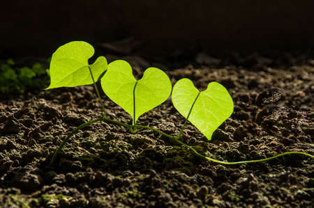 antecedents: Three Heart shape green leaves Stock Photo