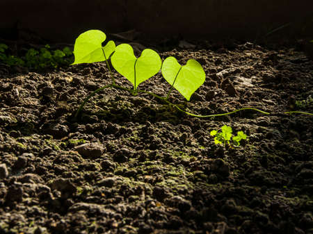 tip of the leaf: Three Heart shape green leaves Stock Photo