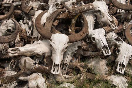 Pile of Buffalo skulls photo