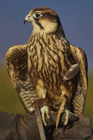 lanner: South African Lanner Falcon in training Stock Photo