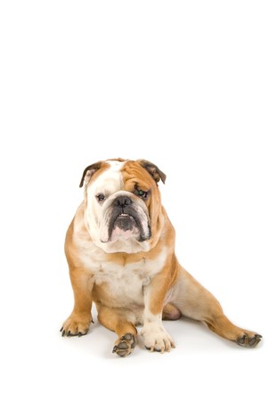 wrinkely: english bulldog