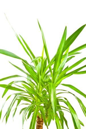 Yucca plant on white background photo