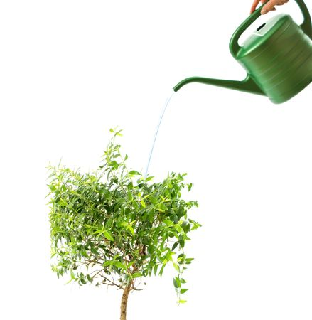 myrtle tree and watering pot isolated on white  photo