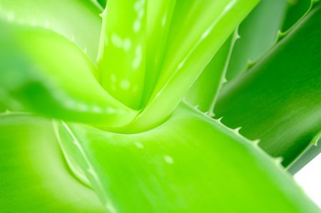 Aloe leave closeup photo
