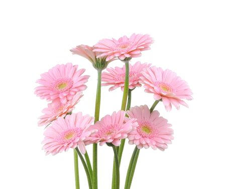 Pink gerber flowers isolated on white background  photo