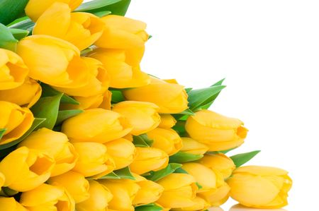 Yellow tulips isolated on white background Stock Photo - 6474671