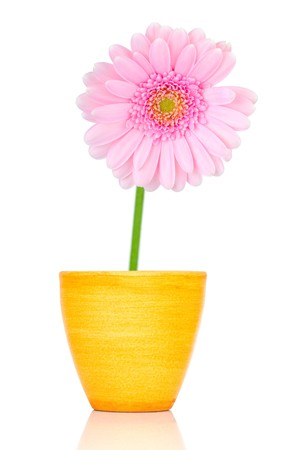Pink gerber in pot isolated on white background photo