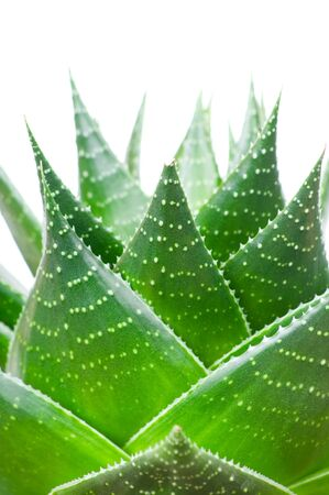 Aloe isolated on white background Stock Photo