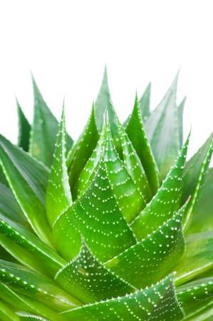 clinically: Aloe isolato su sfondo bianco