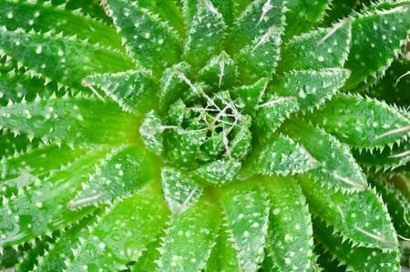 Aloe with water drops.Macro Stock Photo - 6964210