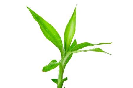 shoots: Bamb� con hoja verde aislado sobre fondo blanco