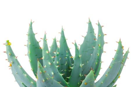 Aloe isolated on white background  photo