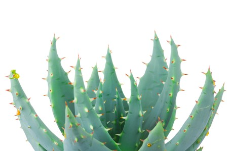 Aloe isolated on white background Stock Photo - 6963870