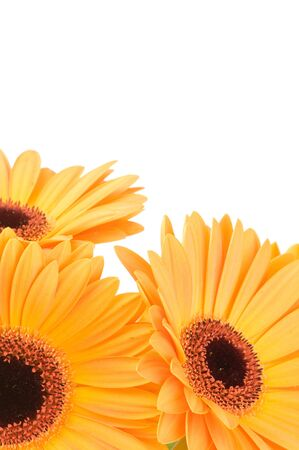 Gerber flowers isolated on white background Stock Photo - 6963924